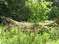 The Church Path Oak - Salcey Forest - July 2009 - panoramio.jpg