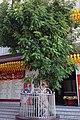 The Old Longan Tree before Yuanbao Temple.jpg
