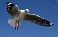 The Silver Gull. (17676301574).jpg
