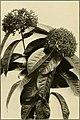 The ornamental trees of Hawaii (1917) (14579357589).jpg
