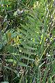 Thelypteris palustris 5475671.jpg