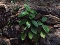 Therakam തേരകം Ficus exasperata forest sandpaper.jpg