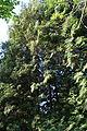 Thuja plicata in Botanical garden, Minsk 01.JPG