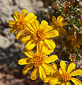 Thymophylla acerosa 4.jpg