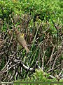 Tickell's Leaf Warbler (Phylloscopus affinis) (20658689326).jpg