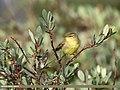 Tickell's Leaf Warbler (Phylloscopus affinis) (37766969572).jpg