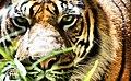 Tiger, Eva Rinaldi Photography (5393351894).jpg