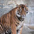Tiger.25.jpg