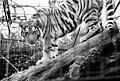 Tiger at Edinburgh Zoo - geograph.org.uk - 1278789.jpg