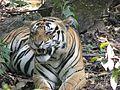 Tiger at rest.jpg