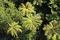 Tops of tree ferns from above (looking down from Treetop Walkway).jpg