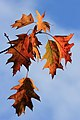 Toulouse - Quercus leaves - 01.jpg