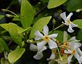 Trachelospermum asiaticum jd pt.jpg