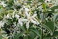 Trachelospermum jasminoides kz3.jpg