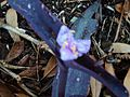 Tradescantia Purple Flower - panoramio.jpg