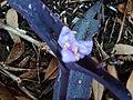 Tradescantia Purple Flower - panoramio.jpg