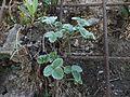 Trauttmansdorff gardens - Unidentified plant.JPG