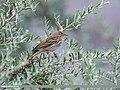 Tree Pipit (Anthus trivialis) (32432481398).jpg