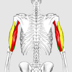Triceps brachii muscle06.png