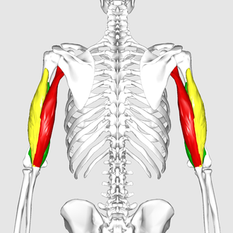 Triceps brachii muscle - Image: Triceps brachii muscle 06