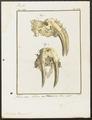 Trichechus rosmarus - kaak - 1700-1880 - Print - Iconographia Zoologica - Special Collections University of Amsterdam - UBA01 IZ21100021.tif