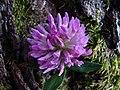 Trifolium flower 1.jpg