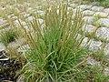 Triglochin maritimum plant (20).jpg