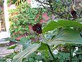 Trillium erectum - Flickr - peganum.jpg