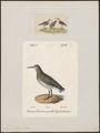Tringa cinclus - 1700-1880 - Print - Iconographia Zoologica - Special Collections University of Amsterdam - UBA01 IZ17400247.tif