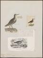 Tringoides leucopterus - 1700-1880 - Print - Iconographia Zoologica - Special Collections University of Amsterdam - UBA01 IZ17400151.tif