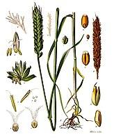 Du blé tendre.