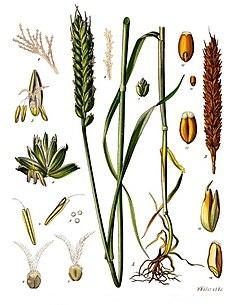 Triticum aestivum - Köhler–s Medizinal-Pflanzen-274.jpg