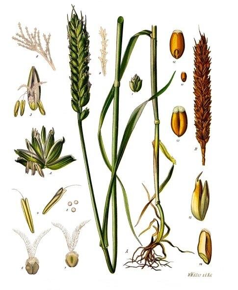 Triticum aestivum - Köhler–s Medizinal-Pflanzen-274