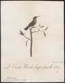 Trochilus cristatus - 1802 - Print - Iconographia Zoologica - Special Collections University of Amsterdam - UBA01 IZ19100465.tif
