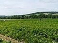 Tronville-en-Barrois-Fraises.jpg