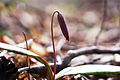 Trout lily bloom emerging (17114835900).jpg