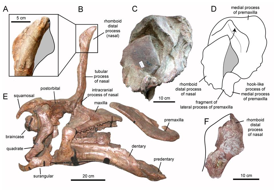 Tsintaosaurus nasal