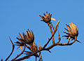 Tulip Tree Liriodendron tulipifera Dried Flowers 2400px.jpg