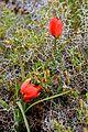 Tulipa Goulimyi by ISGousias.jpeg