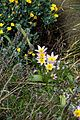 Tulipa saxatilis 'Lilac Wonder' at RHS Garden Hyde Hall, Dry Garden - Essex, England 03.jpg
