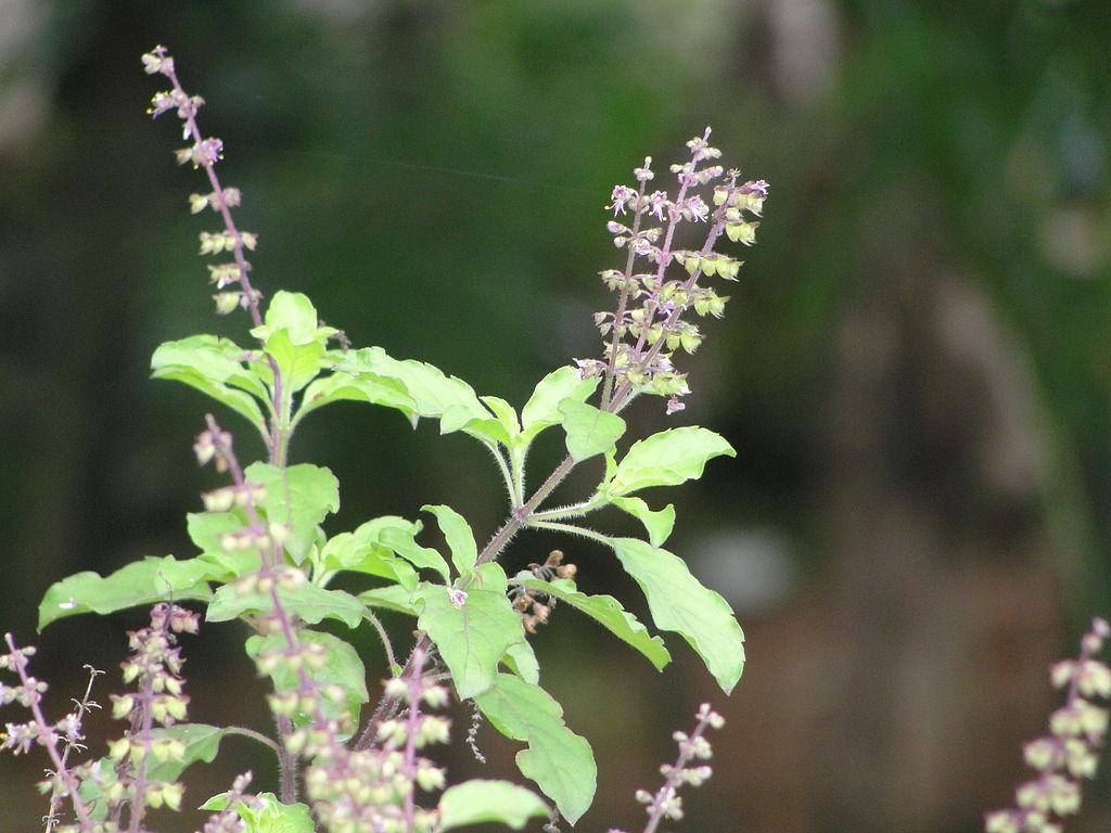 Tulsi or Tulasi Holy basil