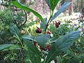 Twinberry Honeysuckle (15034632157).jpg