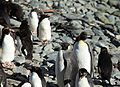 Two King Penguins amid Macaroni Penguins (5892519437).jpg