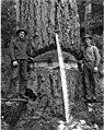 Two loggers on springboards with felling axes and crosscut saw, Snohomish County, ca 1913 (PICKETT 111).jpeg