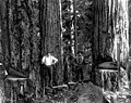 Two men on springboards notching trees, Snohomish County, ca 1913 (PICKETT 128).jpeg