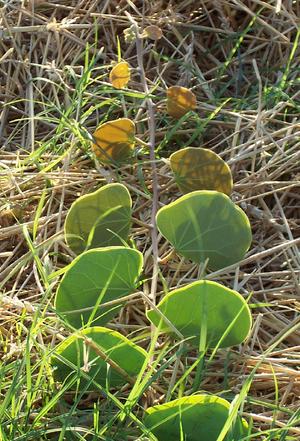 Tylosema esculentum - Image: Tylosema esculentum