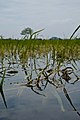 Typhoon Ketsana submerged rice plants just before harvest.jpg
