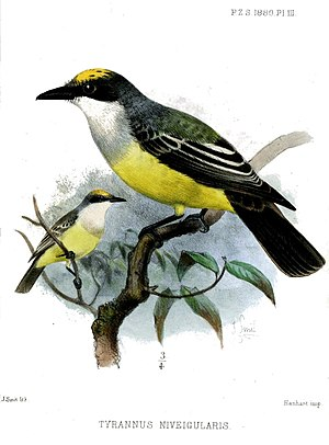 Snowy-throated kingbird - Image: Tyrannus Niveigularis Smit