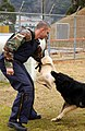 US Navy 030205-N-8937A-001 Master-at-Arms Seaman Michael Brodsky assigned to Sasebo's Security Department is grabbed by the arm during daily training exercises for dog handlers and their dogs.jpg