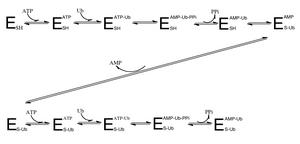 Ubiquitin-activating enzyme